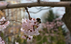 Picture bee, pollen, spring, flowering, honey