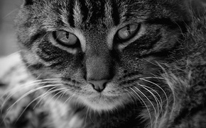 Picture animals, cat, black and white