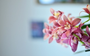 Picture flowers, pink, flower, Orchid, pink, flowers, orchid, celebration, calmness