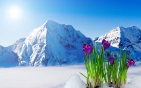Picture spring, crocuses, flowering, flowers, mountain, snow, spring, crocus