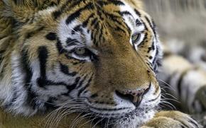 Wallpaper tiger, portrait, predator