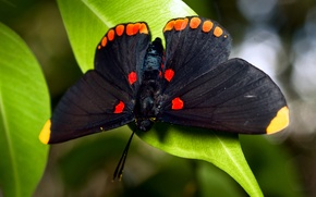 Picture butterfly, foliage, large, black