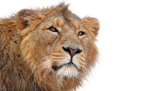 Wallpaper mustache, face, predator, Leo, mane, looks, on a white background, lion, young, panthera leo