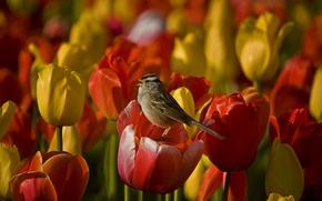 Picture flowers, stems, flowers, singing, stalks, singing, white-crowned Sparrow, white-crowned sparrow