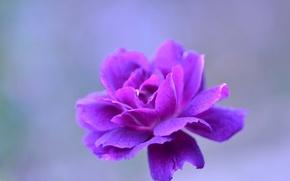 Picture flower, nature, petals