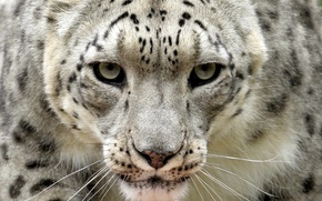Picture look, IRBIS, snow leopard
