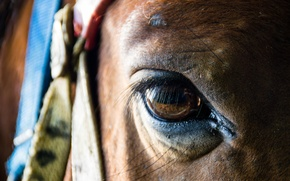 Picture macro, eyes, horse
