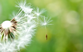 Picture macro, dandelion, Wallpaper, wallpaper, green background, widescreen, background, full screen, HD wallpapers, widescreen
