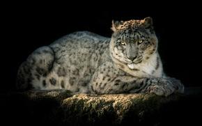 Picture predator, IRBIS, snow leopard, handsome