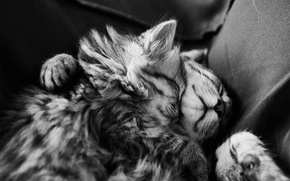 Picture sleep, kittens, black and white, fur, sleep, monochrome