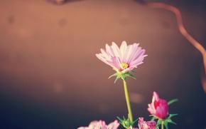Wallpaper pink, plant, petals