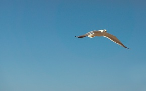 Picture sky, flying, blue, seagull