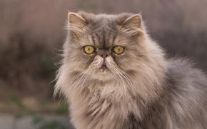 Wallpaper cat, look, fluffy, Persian cat