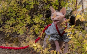 Picture cat, cat, leash, the bushes, aggressive, Sphinx