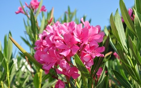 Picture flowers, nature, oleander