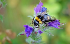 Wallpaper flower, nature, bee, plant, petals, insect, bumblebee