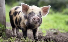 Picture look, portrait, pig