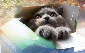 Picture look, box, grey, face, Cat, eyes, paws, cat