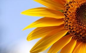 Picture macro, nature, sunflower