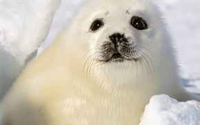 Picture winter, white, eyes, snow, seal, baby, cub
