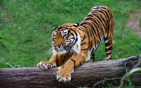 Picture nature, tiger, claws
