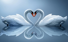 Picture reflection, heart, pair, white swans
