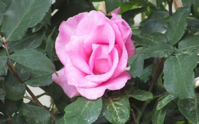 Picture leaves, flowers, pink, green, Roses, rose, flower, pink