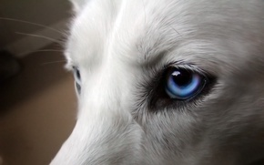 Wallpaper dog, white, eyes, blue