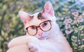 Picture cat, cat, look, glasses, Kote