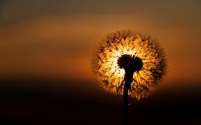 Picture night, nature, dandelion