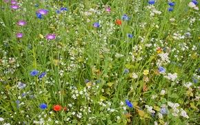 Picture field, summer, grass, flowers, carpet, petals, garden, meadow