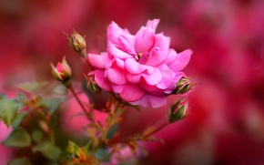 Picture flower, background, rose, buds