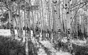 Picture trees, birch, grove