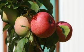 Picture nature, apples, plant, food, branch, garden, fruit, Apple