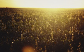 Picture sunset, horizon, field of flowers