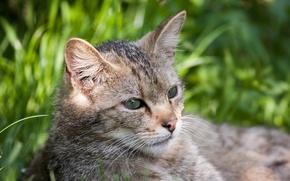 Picture cat, face, wildcat, wild cat