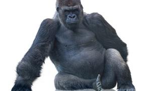 Picture monkey, gorilla, white background