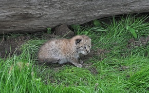 Picture cat, grass, kitty, log, lynx
