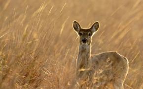 Wallpaper nature, autumn, deer