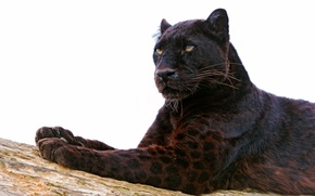 Picture cat, look, face, predator, paws, Panther, color