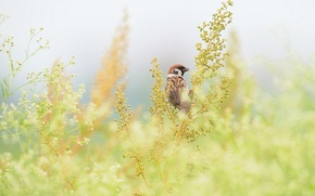 Picture grass, branches, bird, Sparrow, field