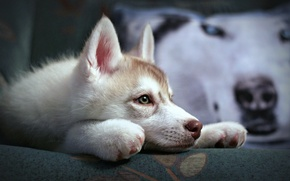 Picture dog, puppy, Siberian husk