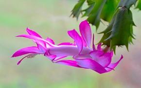 Picture cactus, flowering, pink petals