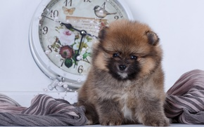 Picture watch, baby, puppy, fabric, Spitz