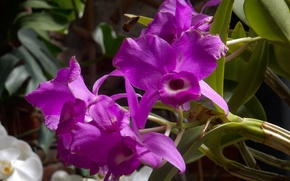 Picture flower, flowers, widescreen, Wallpaper, wallpaper, Orchid, widescreen, background, the Wallpapers, full screen, HD wallpapers, widescreen, …
