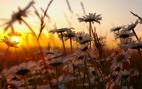 Wallpaper grass, sunset, flowers, nature, chamomile