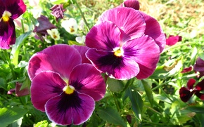 Picture greens, summer, flowers, Wallpaper, Pansy