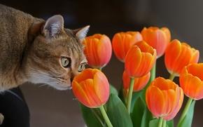 Picture flowers, Cat, tulips, curiosity