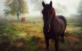 Picture morning, look, horse, fog, posing, horse, autumn