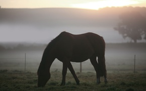 Picture field, animals, grass, fog, landscapes, horses, morning, horse, pasture